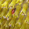 Western Blood-Red Lady Beetle on sunflower