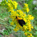 Black-and Yellow Lichen Moth