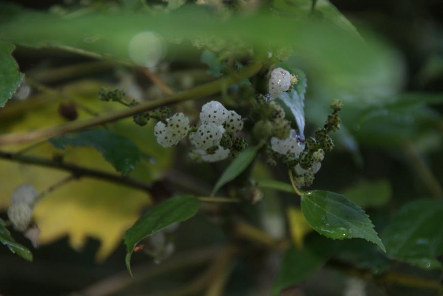 Australian Mulberry