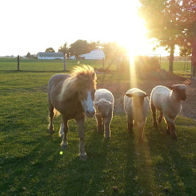 Horse and Sheep by Sandra Fouty - Animals Other Mammals ( farm, ohio, sunset, horse, sheep, rural,  )
