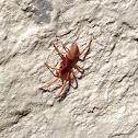 Woodlouse Spider