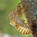 Tree cricket exoskeleton