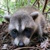 Northern Raccoon kit