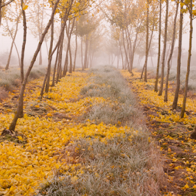 dancing in the streets by Joel DeWaard - Landscapes Forests ( fog, autumn, fallen, foliage, fall, trees, nursery, yellow, leaf, leaves, rows )