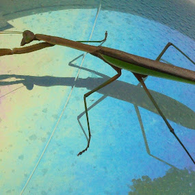 Praying Mantis by Tracey Chionchio - Animals Insects & Spiders ( nature, colorful, still life, insect, praying mantis )