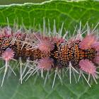 Caterpillar, Hamadryas sp