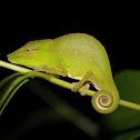 Leaf chameleon