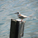 Forstern's Tern (Immature)