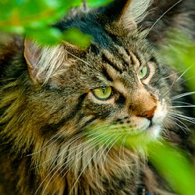 Hunter by Luana Racan - Animals - Cats Portraits ( animals, kitten, cat, maine, grass, green, stripes, #garyfongpets, photo, portrait, photography, cats, #showusyourpets, hunter, maine coon, photographer, kitty, mainecoon, animal )