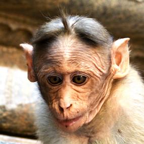 by Ganesh LK - Animals Other Mammals ( animal, monkey )