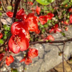 Quince flower by Iqbal Ahmed - Instagram & Mobile iPhone ( quince flower, wildflower, iphone, flower, iqbal, ahmed )