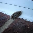 Asp or Puss Moth Caterpillar