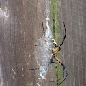 Corn spider, also writing spider and black and yellow garden spider