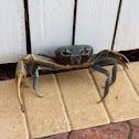 Blue Land Crab (Giant Land Crab)