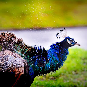 Peacock Shimmy by Emily Stillings - Animals Birds ( water, e.j.stillings photography, dry, fowl, green, yellow, feathers, shaking, droplets, bird, shimmies, color, peafowl, blue, shimmying, emily stillings, shimmy, peacock, rain,  )