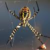Tecedeira-listada ou aranha-tigre-listada