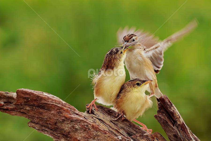 Fly & Feed (2) by Husada Loy - Animals Birds