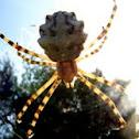 Zig-zag Signature spider