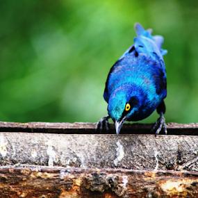 U talking to me? by Nadir Aziz - Animals Birds ( bird, iridiscent, starling, blue, eye,  )