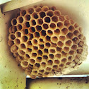 Paper or Umbrella Wasp Nest
