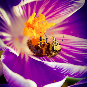 A bee on a flower by Charlotte Kay - Animals Insects & Spiders