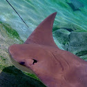 Cow Nose Ray