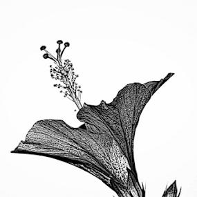 B&W study by Jim Signorelli - Black & White Flowers & Plants (  )