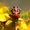 spurge hawk moth caterpillar