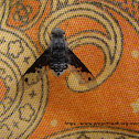 Bombyliidae fly(bee fly)