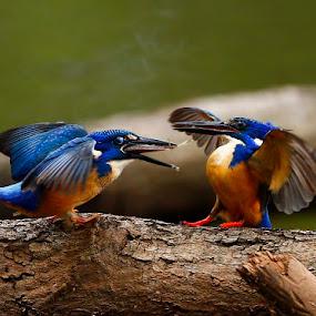 'Burp' by Chris Krog - Animals Birds ( kingfisher, alcedo, semitorquata, half-collared )