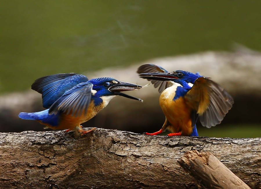 'Burp' by Chris Krog - Animals Birds ( kingfisher, alcedo, semitorquata, half-collared )
