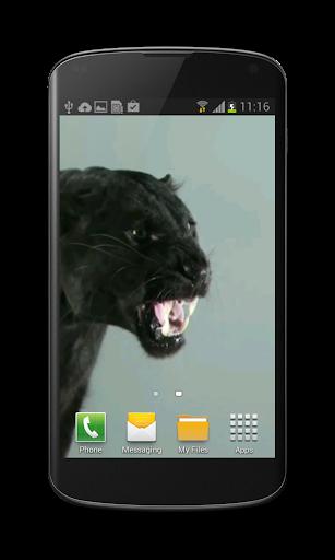 Puma Cat Video Wallpaper