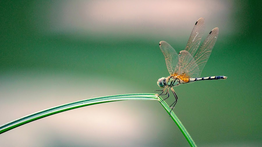 Dragonfly by Mirza N. Islam - Animals Insects & Spiders ( grass, dragonfly,  )