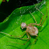 Spitting Spider with prey