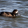 Greater Scaup, m & f