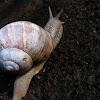 Weinbergschnecke Grapevine snail