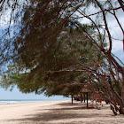 Beach Casuarina