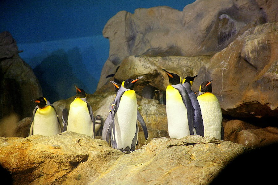 Penguins at Jurong Bird Park by Leong Jeam Wong - Animals Birds ( tuxedo, aircon, suit, penguin, airconditioned )