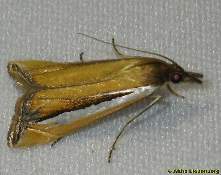 Pyralidae, Phycitinae