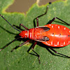 Cotton stainer nymph