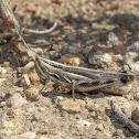 Striped Slant-face Grasshopper