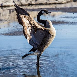 THE goose-2.jpg