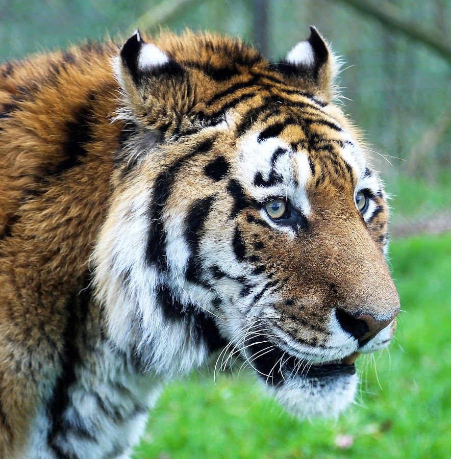 by Steve Bright - Animals Lions, Tigers & Big Cats