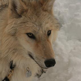 by Viks Pix - Animals - Dogs Portraits ( tundra, malamute, wolf, pyranees, arctic, gsd, timber, wolfdog, shepherd, dog )