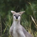 Pretty-faced Wallaby or WHIPTAIL WALLABY