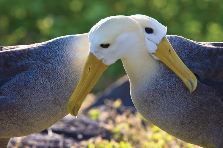 Two adult waved albatrosses hug neck to neck at a breeding colony on Española Island in the Galápagos Island Archipeligo during a Lindblad Expeditions tour.