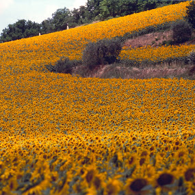 SUNFLOWERS FIELD by Riccardo Schiavo - Flowers Flowers in the Wild (  )
