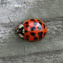 Harlequin Ladybug