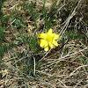 Gunns alpine buttercup