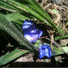 Tradescantia Spiderwort
